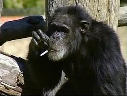Will Scribe Chimp Smoking